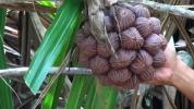 Sauvons la forêt primaire de Makatea